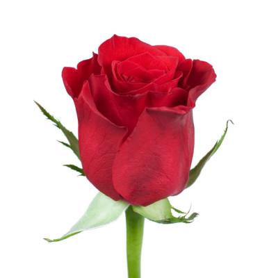 Роза 50 см